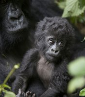 A mountain gorilla mother holds her three-month-old infant (Parc National des Volcans, Rwanda).