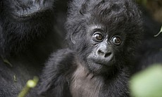 A mountain gorilla mother holds her three-month-old infant (Parc National des...