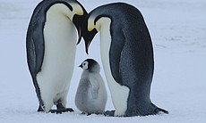 An emperor penguin pair with their chick (Antarctica).