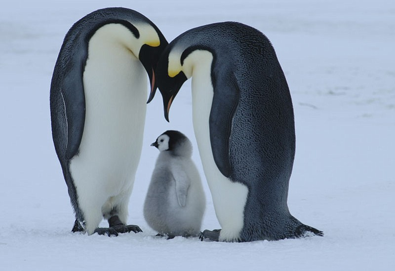 An emperor penguin pair with their chick (Antarctica).  ()