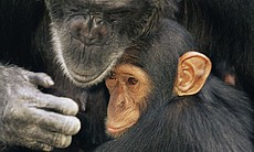 A chimpanzee mother and her youngster (Chimfunshi Orphanage, Zambia).  (4700)