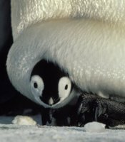 A two-week-old emperor penguin chick being incubated (Antarctic).