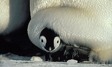 A two-week-old emperor penguin chick being incu...