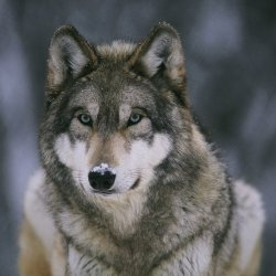 Close up of a wolf in Yellowstone's Lamar Valley.