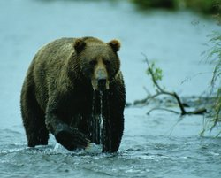 A brown bear hunting in shallow water on Chichagof Island, Southeast Alaska.