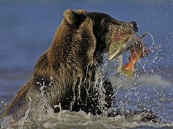 Salmon eggs spray out as a grizzly bear (Ursus arctos horribilis) catches salmon in Kamchatka, Russia.