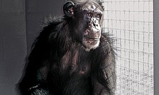Ron, who was born in a research lab, now lives at the Save the Chimps sanctuary in Ft. Pierce, Florida.