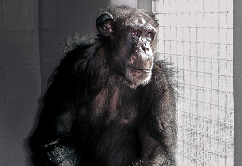 Ron, who was born in a research lab, now lives at the Save the Chimps sanctua...