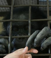 Featured in the film, Billy Jo was a circus chimpanzee before being sold to LEMSIP, a research laboratory. He lived out his years at the Fauna Foundation in Carignan, Quebec.