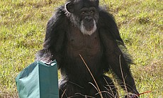Thoto, featured in the film, was a circus chimpanzee, but now lives at the Sa...