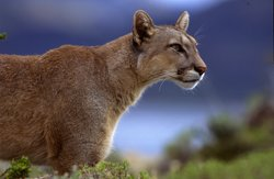 A puma in the Andes.