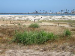 The sand dunes in Ocean Beach are a key nesting area for the California Least...