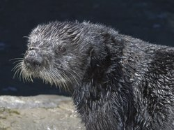 Maggie, a relatively new addition to the Monterey Bay Aquarium's sea otter ex...