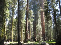 Redwoods in Sequoia National Park in 2009.