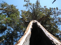 Redwood trees can live as long as 2,000 years. Here, a redwood in the Sequoia...