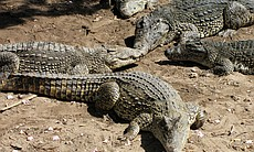 Cuban crocodiles warming up on the shore.