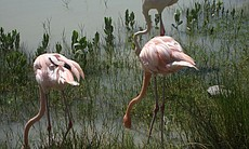 Flamingos feeding near Cayo Coco.