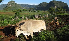 Tobacco farmer working the fields with mogotes in background.