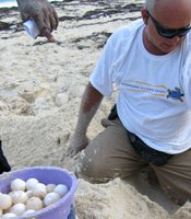 Biologist Gonzalo Nodarse digs up green turtle eggs to be relocated.