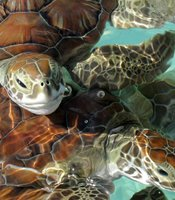 Baby green turtles swimming at breeding center in Cuba.
