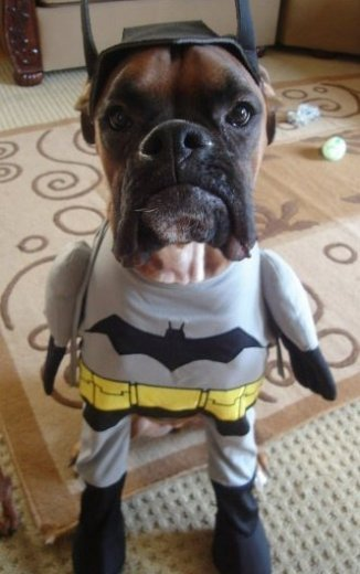 Deanna Chew's dog Kona as Batman. This isn't the only pet costume I've received, but it's definitely one of the cutest.