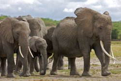 Echo, the elephant matriarch, striding out ahead of the family. Echo takes th...