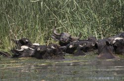 Water buffalo bathing in the wetlands, Iraq.