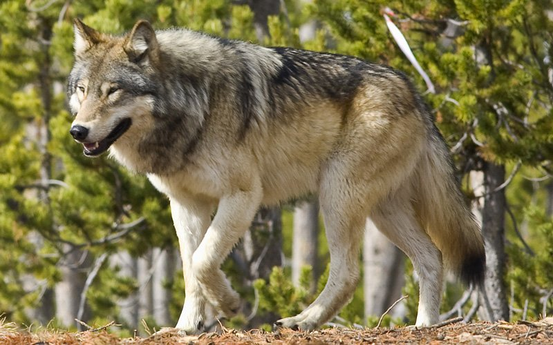 lords of nature life in a land of great predators kpbs