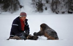 Steve Kroschel and two wolverine orphans, he has cared for since their birth, play in the snow at his refuge in Haines, Alaska.