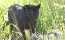 Indonesian black leopard hunts in the grass. Asian leopards tend to be smaller than African leopards, and some, like this Indonesian leopard, not much larger than a large house cat. The black or melanistic leopard's dark colour is thanks to a recessive gene, like red hair or blue eyes. They often give birth to spotted young, except in one isolated population in Indonesia where all the leopards are black.