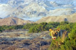 Lioness in the desert at dawn