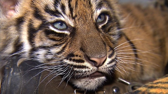 Joanne, an 8-week-old Sumatran tiger cub, is photographed at the Sa... ()