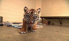 Joanne, an 8-week-old Sumatran tiger cub is photographed at the San... (8651)