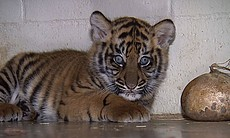 Majel, anther 8-week-old Sumatran tiger cub photographed at the San... (8653)