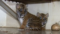 Joanne and Majel, are photographed together at the Safari Park. Joanne weighs 16 pounds, while Magell weighs a slightly smaller 15 pounds.