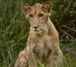"Promotional photo of a lion cub from ""Elsa's Legacy: The Born Free Story"""