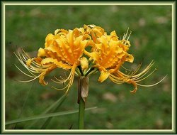 Yellow Spider Lily: Stunning flowers, growing from a bulb. ~0.5m tall