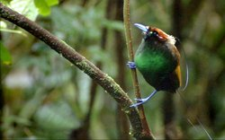 The male Magnificent Bird of Paradise looking about the forest.