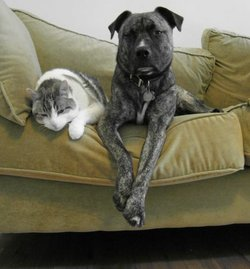 An 11-year old tabby cat and a mixed Molosser breed dog