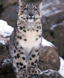 Snow leopard featured in