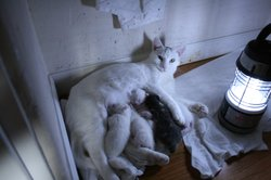 Maya with her three-day-old kittens.