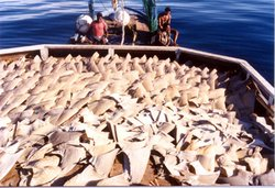 Hundreds of shark fins on the deck of a boat.