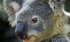 The koala is a symbol of Australia and one of t...