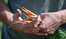 Carrots are among the crops local farms produce for regional businesses and i...