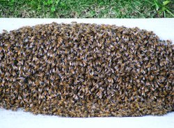 Bees swarm against a curb in a parking lot.