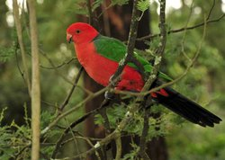Male king parrot sitting in a tree, Australia.