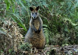 Swamp wallaby on the edge of a superb lyrebird display mound, Australia.