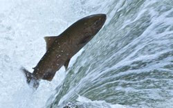 An Upper Middlefork Salmon R. Chinook Salmon makes its way back to its birthp...