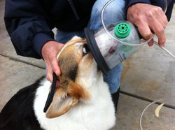 Cassie demonstrates how to wear a pet-oxygen mask.