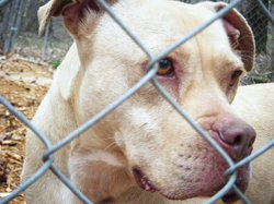 Nearly half of all dogs at animal shelters are pit bulls or pit bull mixed-br...